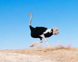 Особенности африканского страуса и его характеристика