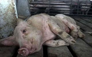 Как проявляется болезнь Тешена у свиней
