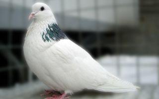 Великолепные русские голуби — пермские гривуны