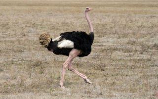 Какого роста может быть страус и сколько весить