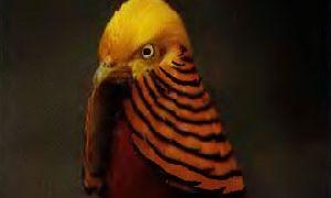 Обыкновенный фазан и его подвиды