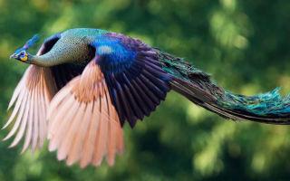 Могут ли летать павлины