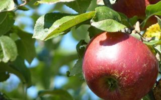 Яблоки сорта Апорт — описание, особенности, уход