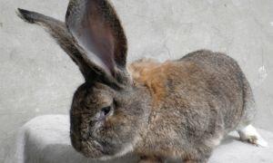 Описание и характеристики немецкого кролика породы Ризен