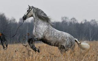 Лузитанские лошади