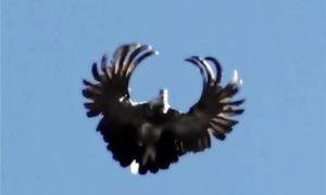 Порода Серпастых голубей