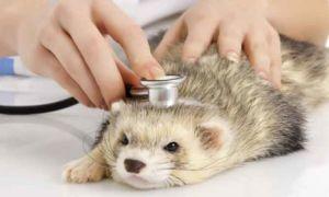 Какие нужно делать прививки вашему хорьку