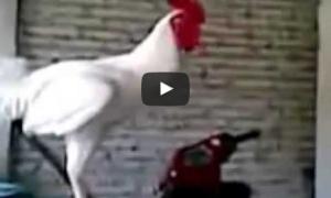 Смешные видео про кур и петухов