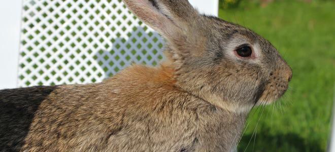 Порода кроликов Серый великан — все о разведении и уходе