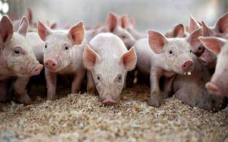 Самая выгодная порода свиней для разведения