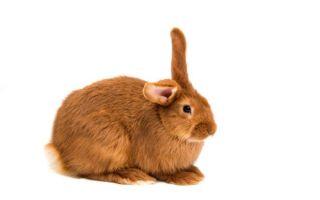 Все о декоративном рыжем кролике