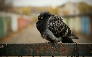 Все о причинах и лечении Вертячки у голубей