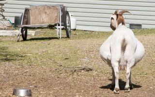 Как протекает беременность у козы и как правильно ухаживатьиза ней