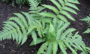 Страусник обыкновенный — уход и выращивание папоротника