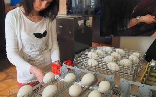 Инкубация гусиных яиц в домашних условиях: температура, условия, нормы