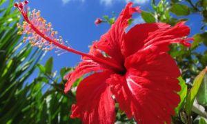 Садовый Гибискус: разновидности, уход и размножение