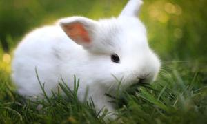 Кролик породы Гермелин — польский пушистый зверек