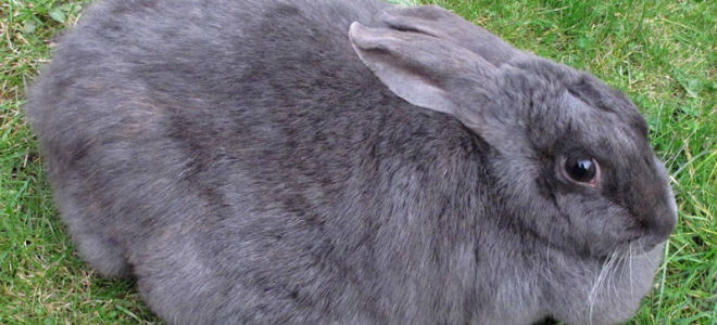Все про беременность у кроликов: длительность, определение, уход