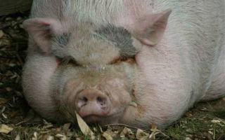 Самые большие породы свиней