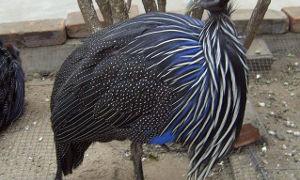 Что за птица — цесарка, и какие ее породы существуют