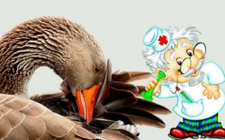 Симптомы, профилактика и лечение болезней у гусей