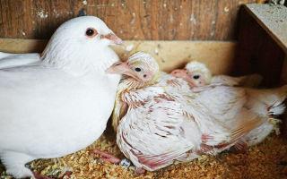 Где прячутся птенцы голубей и как за ними ухаживать