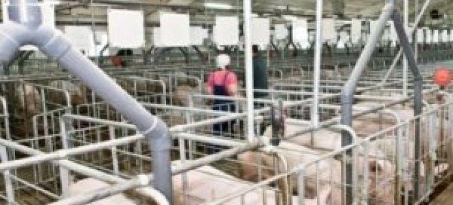 Бизнес-планирование свинофермы на 100, 50 или менее голов