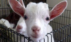 Методы лечение и диагностики поноса у козы