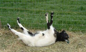 Козы, которые падают в обморок — миотонические (обморочные)