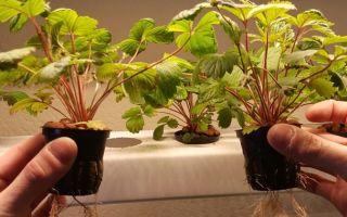 Личный опыт выращивания ремонтантной земляники за 50 дней