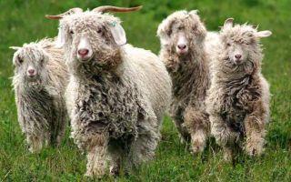Ангорская коза — описание породы и ее особенности