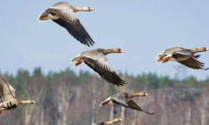 Куда летят на зимовку гуси и утки