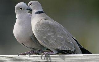 Виды диких голубей и их описание