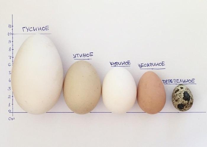 Сравнение цесариного яйца с другими