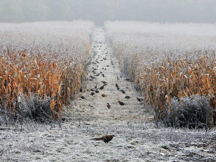 Фазаны гуляют по полю зимой