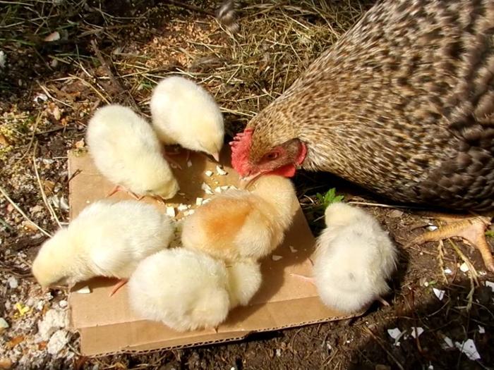 Птенцы кормятся вместе с курицей