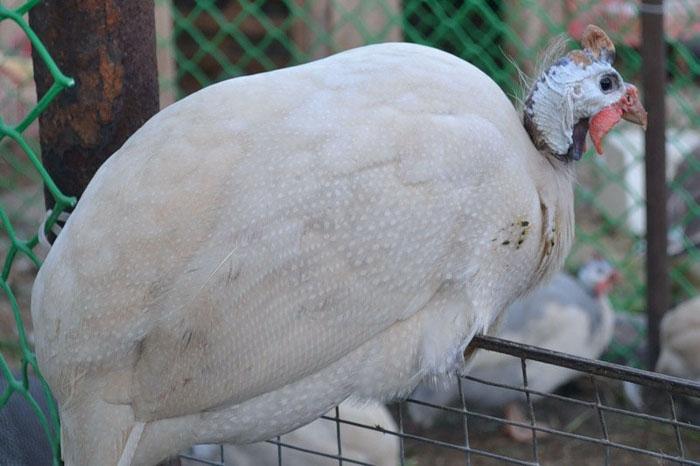 Белая сибирская цесарка сидит на заборе