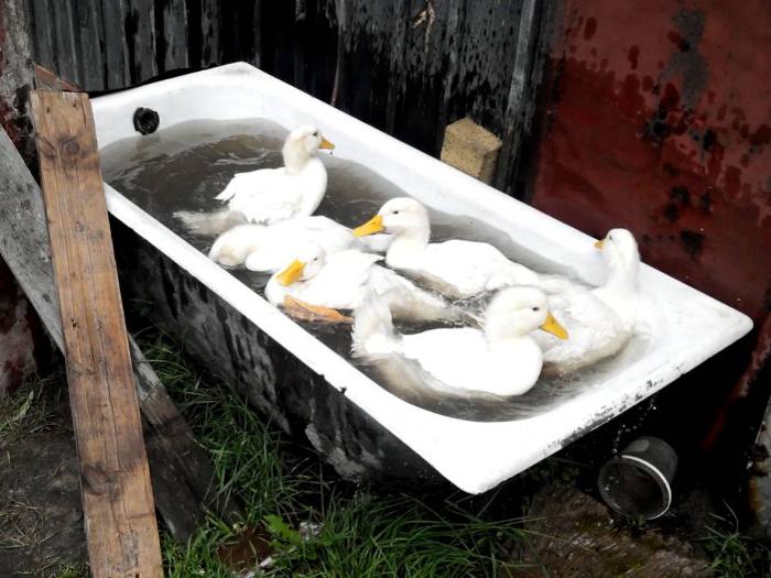 Купание уток стар-53 в специальной ванне