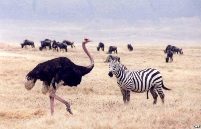 Страус с зеброй в саванне
