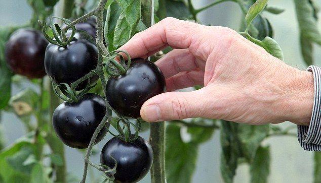 """Популярность томатов """"«Кумато»"""" растет"""