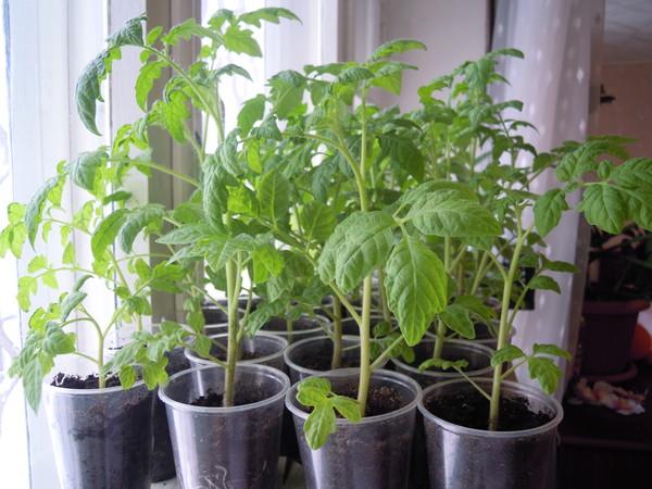 Рассада томатов светолюбива
