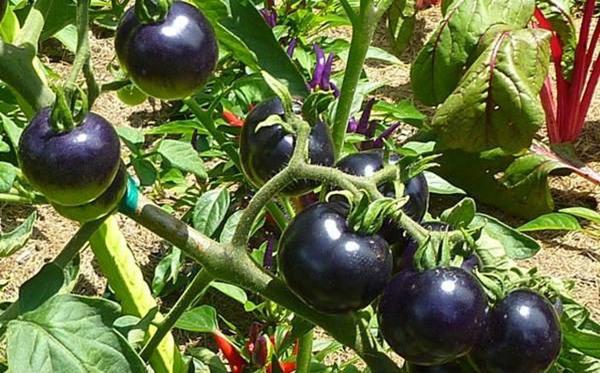 """Необходимо соблюдать технологию выращивания томатов """"«Кумато»"""""""