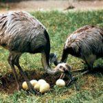 Нанду у своих яиц