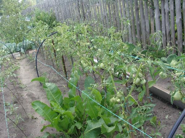 Повысить урожайность поможет правильная высадка томатов