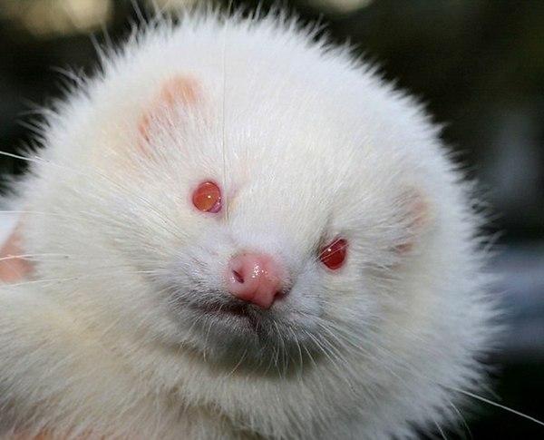 Белый хорек с красными глазами, альбинос