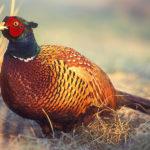 красивый фазан