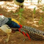 фазан в летнем лесу