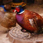 домашний фазан