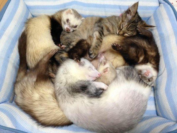 хорьки спят вместе с котенком