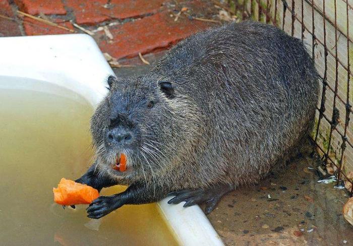 Нутрия ест морковку